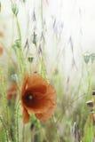 Red poppy flower background stock photo