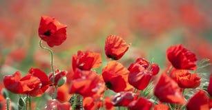 Red poppy flower banner Royalty Free Stock Image