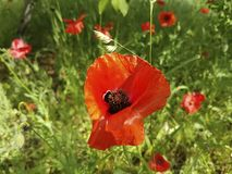 Red poppy flower beauty in the field natural. Red poppy flower in the field morning natural beauty royalty free stock photos
