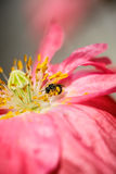 Red poppy flower with bee Stock Photo