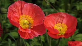 red Poppy flower with bee stock video footage