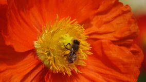 A red Poppy flower with bee Stock Photography