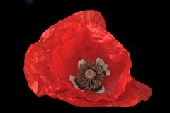 Red poppy flower close up Royalty Free Stock Images