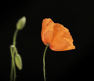 Red poppy flower. On black background Royalty Free Stock Images