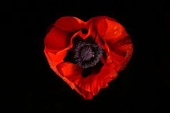 Red poppy flower on a black background Royalty Free Stock Images