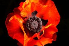 Red poppy flower on a black background Stock Photo