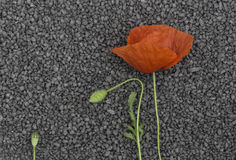 Red poppy flower on black granite pebble Stock Photos