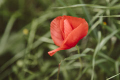 Red poppy flower in bloom on a green uncultivated field on a vintage filter Stock Photos