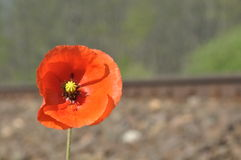 Red poppy flower. Blooming poppy Stock Photography