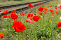 Red poppy flower blossom next to railroad tracks Stock Photo