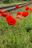 Red poppy flower blossom next to railroad tracks Stock Image