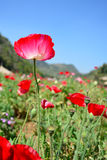 Red poppy  flower and blue sky background Royalty Free Stock Image
