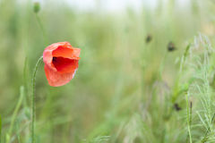 Red poppy flower on  blurred background  green grass Stock Photography