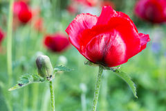 Red poppy with flower bud Stock Photography