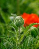 Red poppy flower bud with green leaves on the background in summer garden stock image