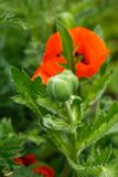 Red poppy flower bud with green leaves on the background in summer garden.  royalty free stock photo