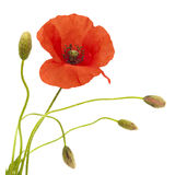 Red poppy flower. And buds isolated on white background Royalty Free Stock Image
