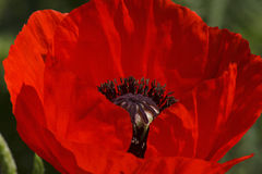 Red poppy flower Stock Photography