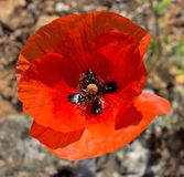 Red Poppy Royalty Free Stock Images