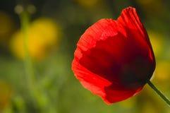 Red poppy flower Stock Photo