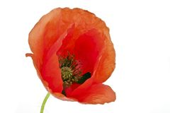 Red poppy flower close up Royalty Free Stock Image