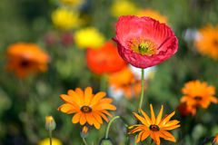 Red Poppy Flower and daisies Stock Photo
