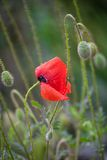 Red poppy flower with drops Royalty Free Stock Photo