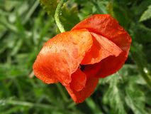 Red poppy flower with drops Stock Images