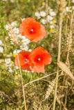 Red poppy flower. Between the ears of wheat red poppy flowers grow Stock Images