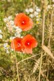 Red poppy flower. Stock Images