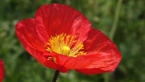 A red Poppy flower Stock Photos