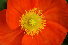 A red Poppy flower Royalty Free Stock Image