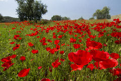 Red poppy flower field Royalty Free Stock Photos