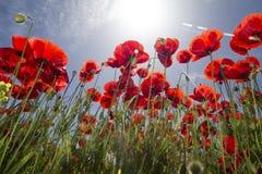 Red poppy flower field Stock Photo