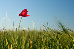 Red poppy flower in field of crop with wind turbines Stock Photos