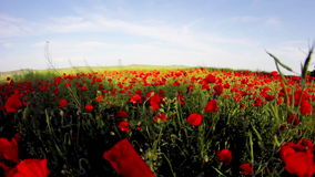 Red poppy flower field with fisheye stock video footage