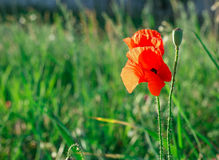 Red poppy flower in the field royalty free stock images
