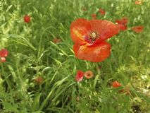 Red poppy flower in the field. Morning royalty free stock photos