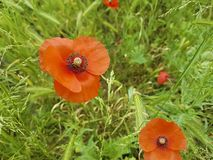 Red poppy flower in the field natural. Red poppy flower in the field morning natural stock image
