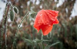 A red poppy flower in field in the rain_. A red poppy flower in field in the rain royalty free stock photos