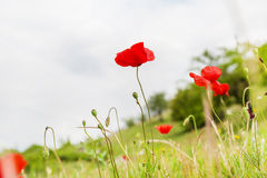 Red poppy flower on the field, symbol for Remembrance Day. With copy space Stock Image