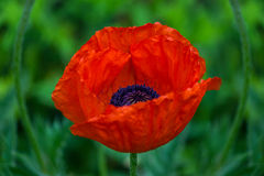 Red poppy flower in the garden. Big red poppy flower on green background Royalty Free Stock Images