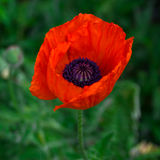 Red poppy flower in the garden. Big red poppy flower on green background Royalty Free Stock Photos