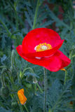 Red poppy flower in the garden. Red poppy flower in nater environment and in the garden Royalty Free Stock Images