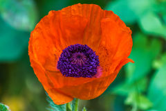 Red poppy flower in the garden. Red poppy flower in nater environment and in the garden Royalty Free Stock Image