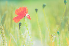 Red poppy flower in green blurred wheat field. Flat look stock photo