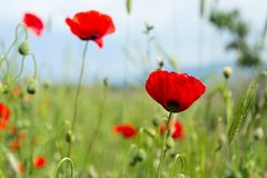 Poppy flowers field. A red poppy flower on a green field royalty free stock images