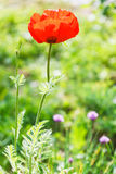 Red poppy flower on green field Stock Photography