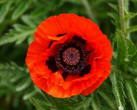 Red poppy flower with green leaves on the background in summer garden royalty free stock image