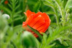 Red poppy flower with green leaves on the background in summer garden royalty free stock images